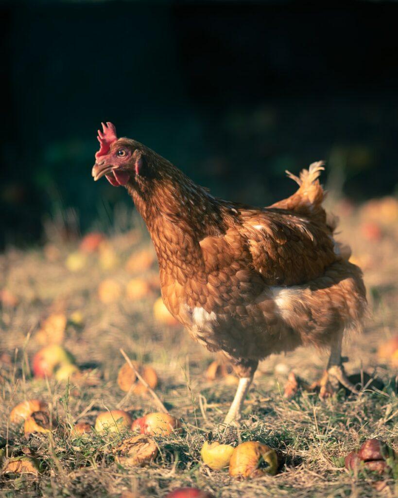 brown chicken on green grass during daytime